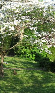 Blooming dogwoods and