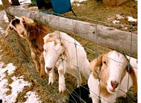 the goats that get Jon Katz's goat  -  Jon Katz in Slate Magazine