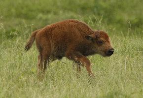 Newborn calf settles at Salato - Latest News - Kentucky.com